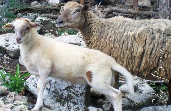 "Jamaican sheep. They baa in Patois and say, ""Ya mon."""