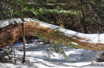A fallen tree along the top of the mountain ridge south of State College, PA.