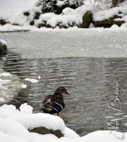 Ducks enjoying the cool water behind the alumni center at Penn State.