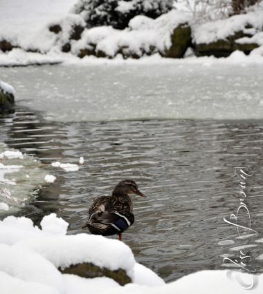 Ducks enjoying the cool water behind the alumni center at Penn State.