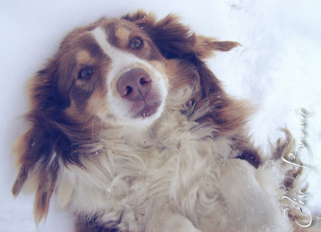 Our Australian Shepherd peacefully waiting for a scratch on the stomach.