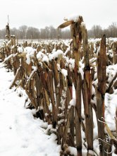 No-till corn in the field, keeping the snow from drifting too far into the lane.