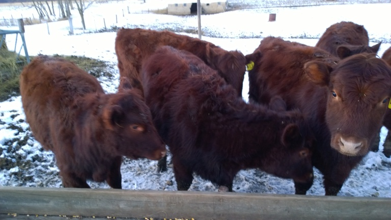 Heifers ready for the corn