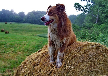 Australian Shepherd and Hay Bale