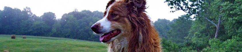 cropped-australian-shepherd-and-hay-bale.jpg