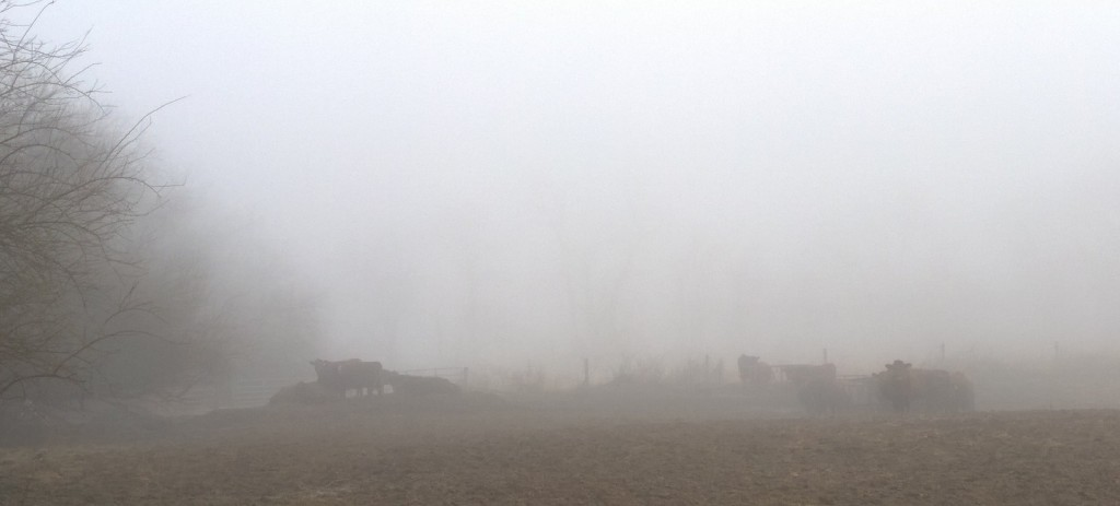 Cows in the Fog