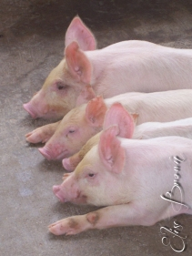Jamaican pigs. They oink in Patois.