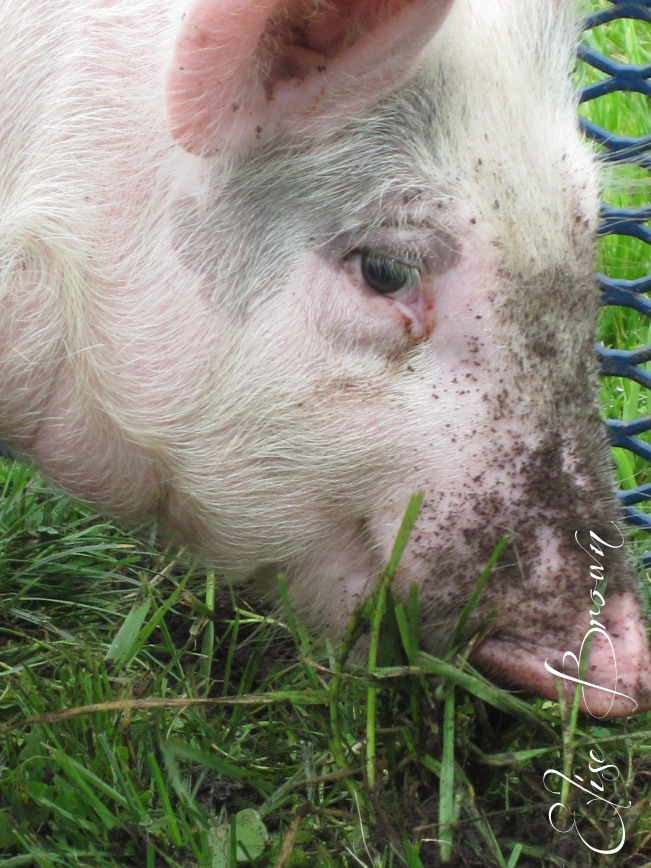 A happy pig rooting in the grass at the Penn State Agronomy Farm during an elementary ag day.