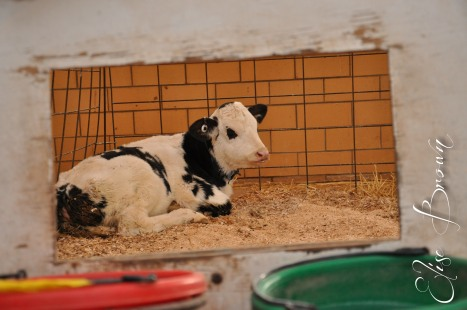 A calf at the Penn State Dairy Farm.