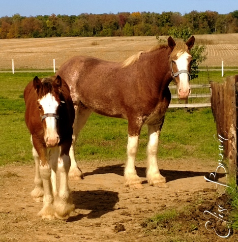 Clydesdale foal coming.