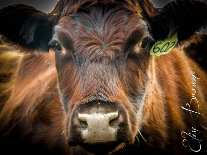 Portrait of a Cow.