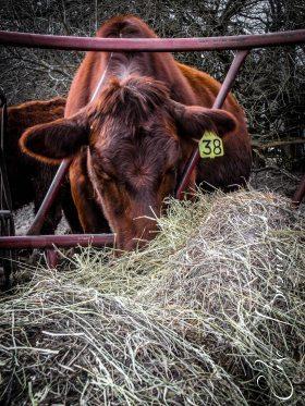 Intent on enjoying some hay.