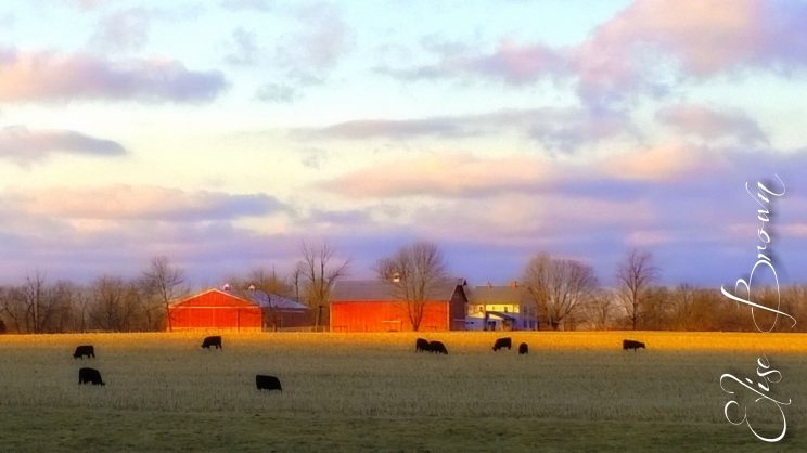 Cattle in the sunset.