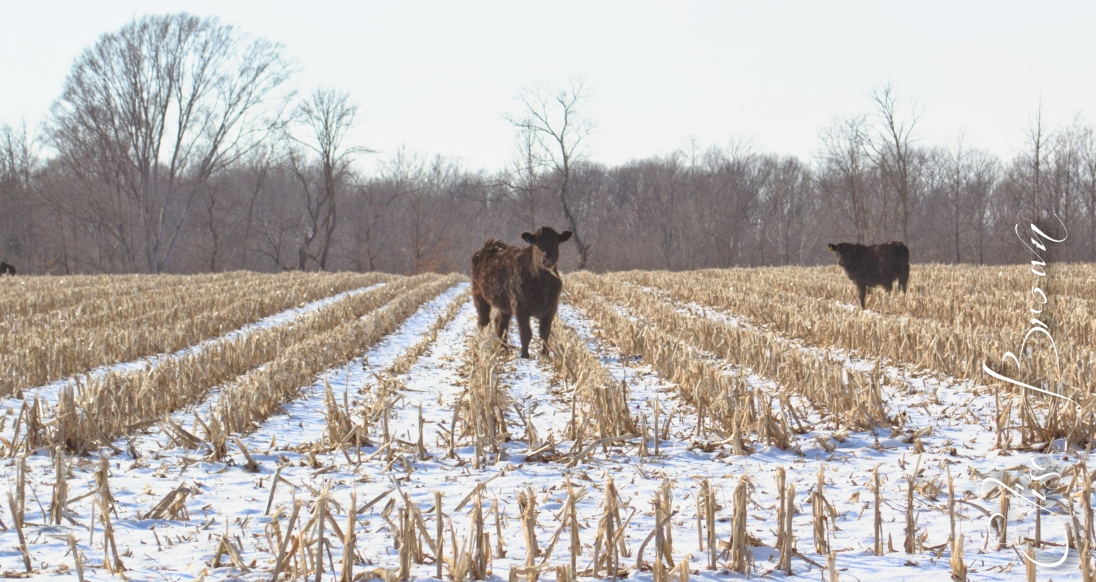 Calves in the snowy cornfield.