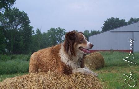 The Australian Shepherd of the Bales.