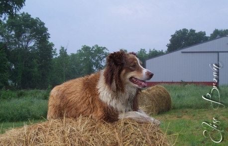 The Australian Shepherd of the Bales.