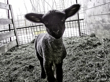 Playful lamb.