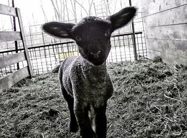 Playful lamb.