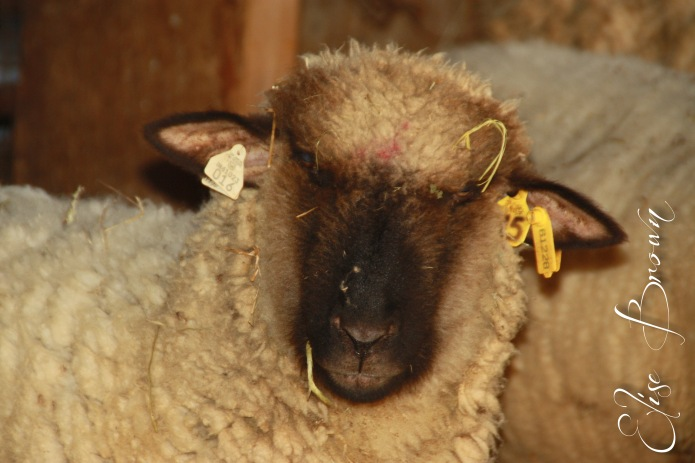 Ewe gazing quizzically into the camera.