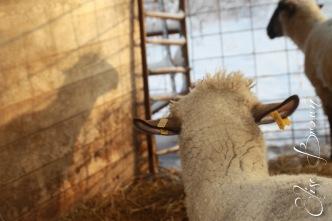 Sheep shadows.