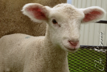 A friendly lamb to greet children visiting the Penn State Agronomy Farm during an elementary ag day.