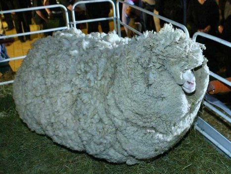 shrek-sheep