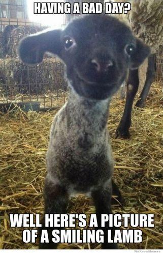 smiling-lamb