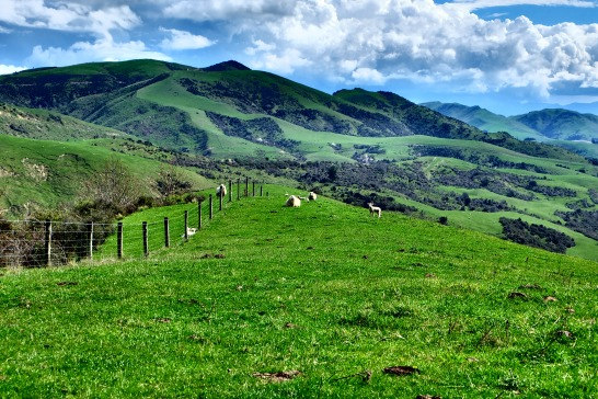 Sheep graze in the hills at the quietest spot I've ever seen (heard?) on the way to Kaikoura.