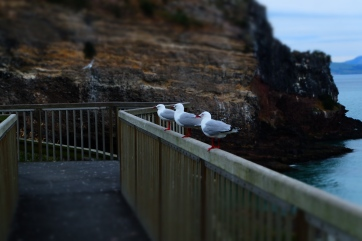 Three sea gulls sitting on the observation deck at the end of the Otago Peninsula.