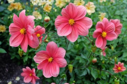 Flowers in the Dunedin Botanic Garden.