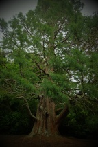 An impressive tree at the old cemetery in Dunedin.