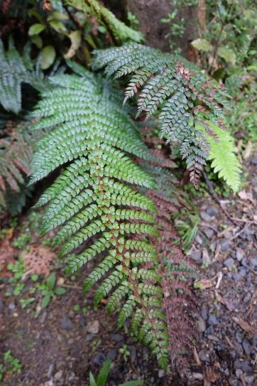 Ferns in Orokonui Ecosanctuary.