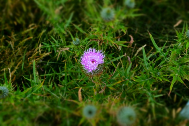A thistle. I hack a lot of these at the research farm where I now work.