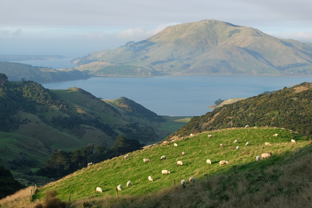 Sheep on the Peninsula