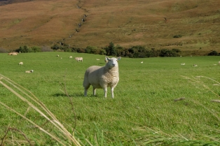Glenbrittle Sheep-2