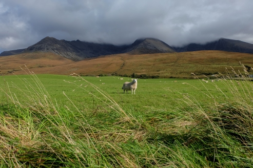 Glenbrittle Sheep