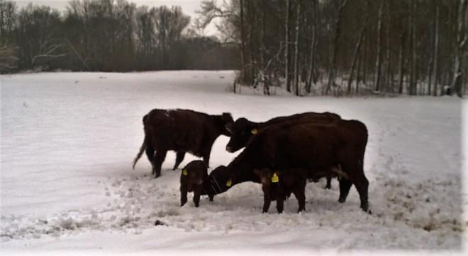 Snowy Adventure Cows and Calves