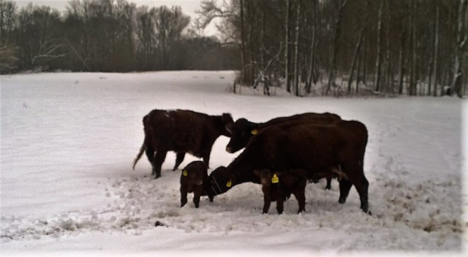Snowy Adventure Cows and Calves
