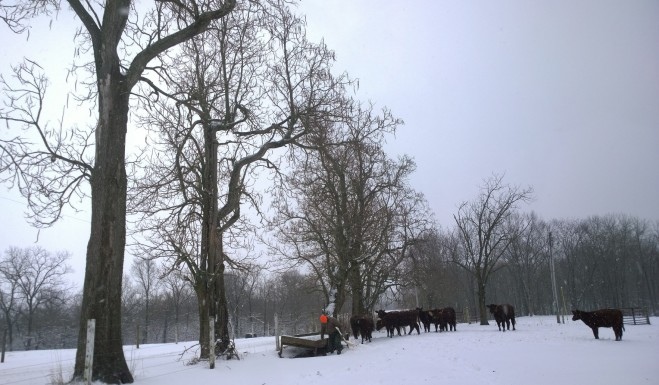 Snowy Adventure Heifers