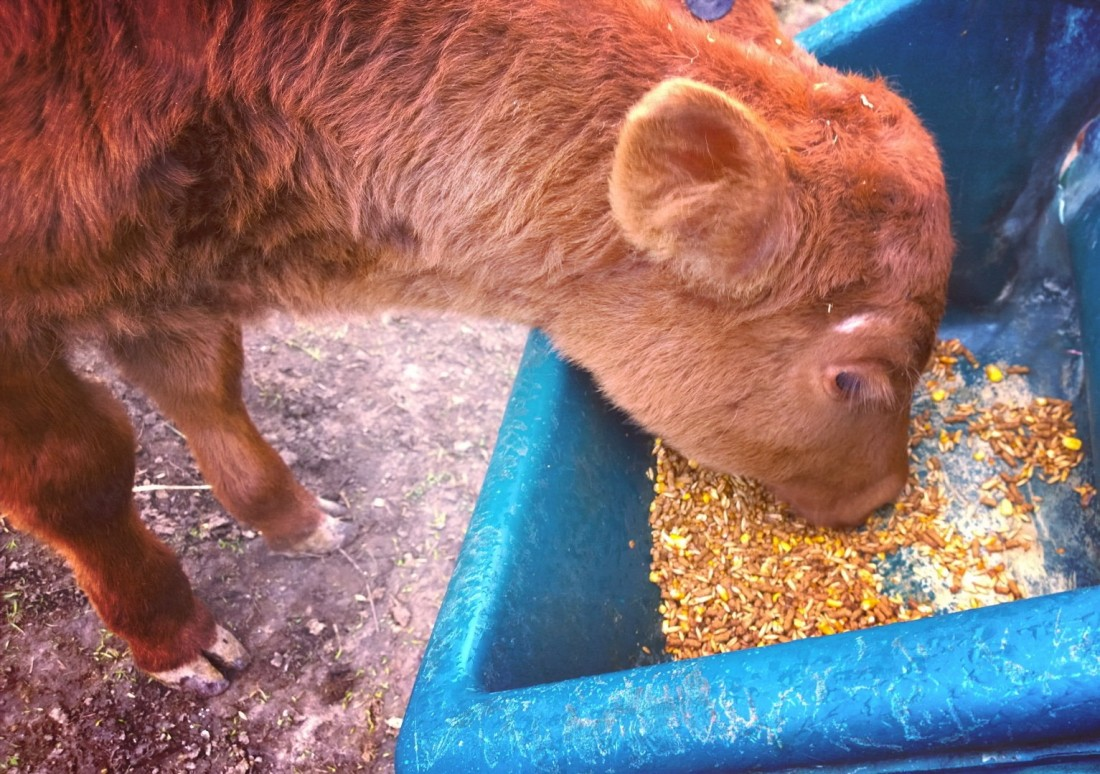Calf eating grain in feeder.